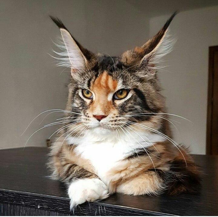 Коты с кисточками на ушах 23